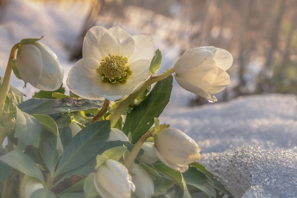 Helleborus tuinplant in de winter